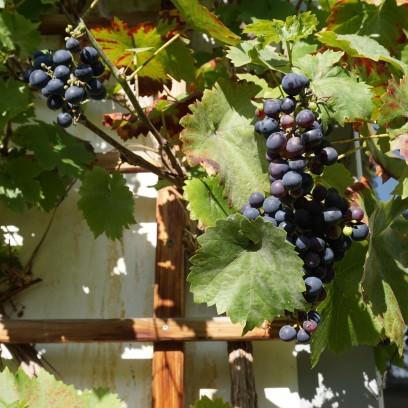 Wein am Seitenflügel des Zinzendorfhauses. Foto: © EAT