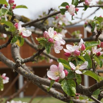 Frühlingshafte Blütenpracht im Garten des Zinzendorfhauses. Foto: © Sabine Zubarik